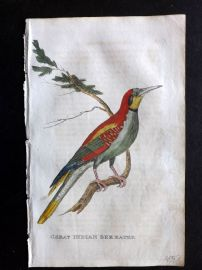 Brightly 1815 Antique Hand Col Bird Print. Great Indian Bee-Eater